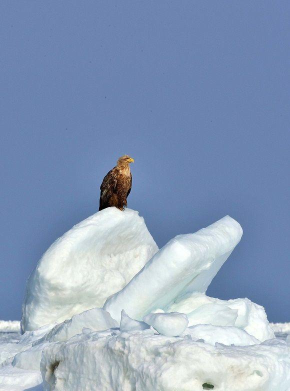 野付半島の夕日と野付半島の大鷲、オジロワシ - 河内のおっさんの野鳥写真