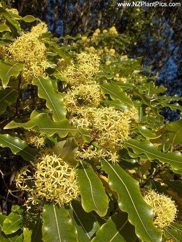 Pittosporum eugenioides  lemonwood, tarata - NZ