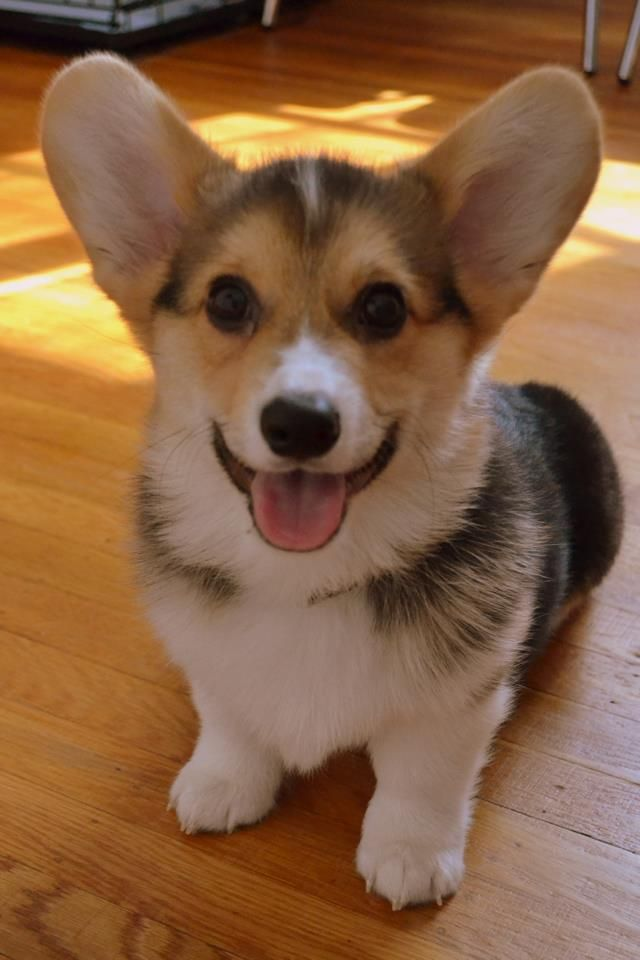 Chompers the Corgi. Z