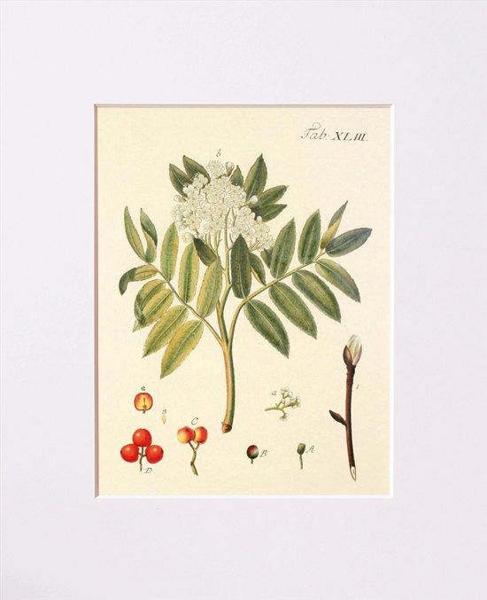 Rowan mountain ash Sorbus aucuparia by NatureVintagePrints