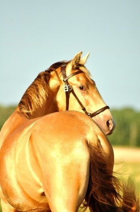 Pearl - Tested homozygous; first U.S. bred and born homozygous PEARL Andalusian colt