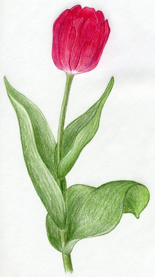 Drawing of a tulip. - @Brooke Baird Baird Baird Baird Lewis-Slamkova - painting idea?