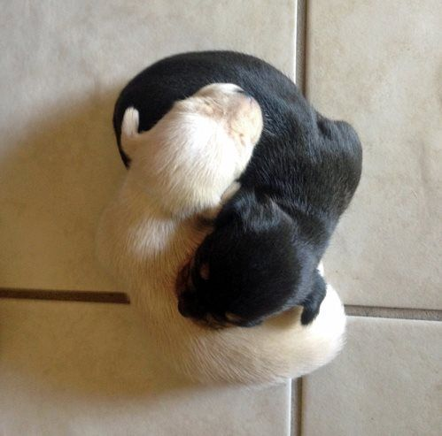 Ying and Yang Puppies                      Parecen Bono y Moby ;-)