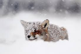 foxes in the snow - Google zoeken