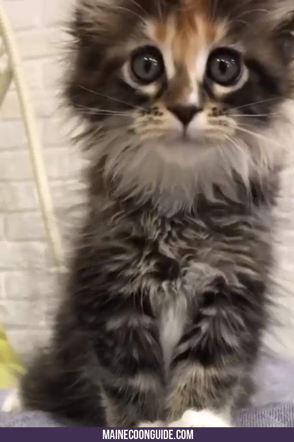 Maine Coon Persönlichkeitsmerkmale – Katzen