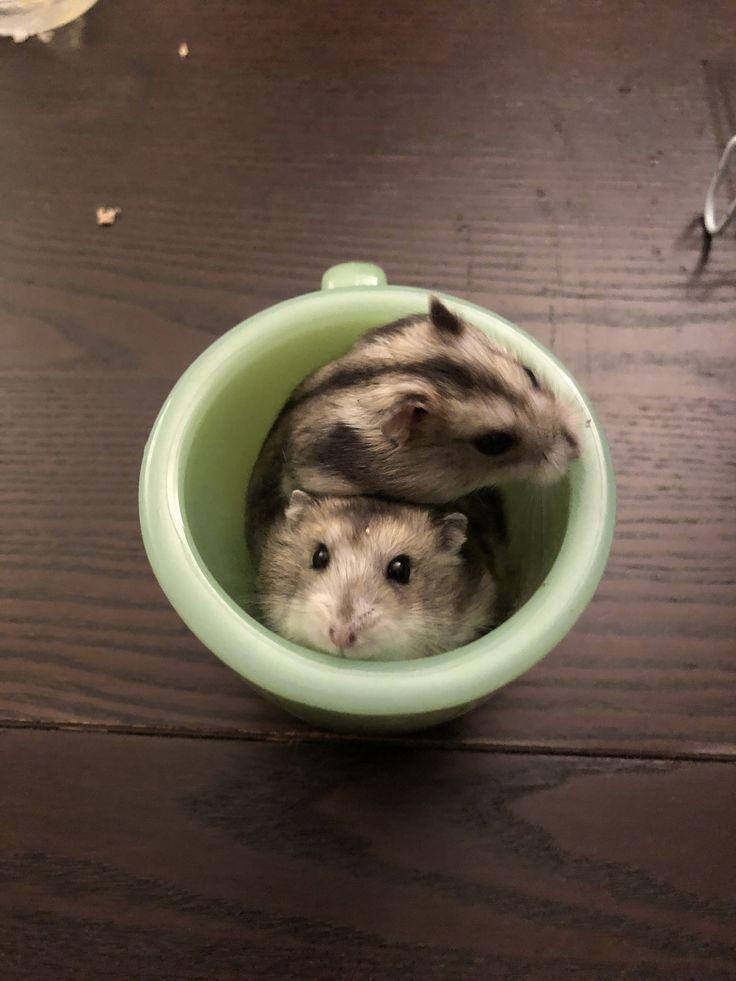 Hamster Latte Art In 2020 Susse Hamster Susseste Haustiere Hamster