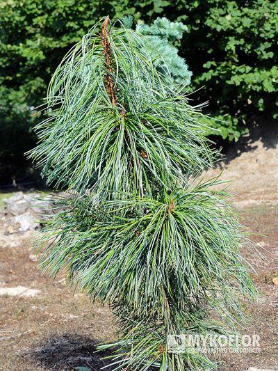 Pinus koraiensis Morris Blue