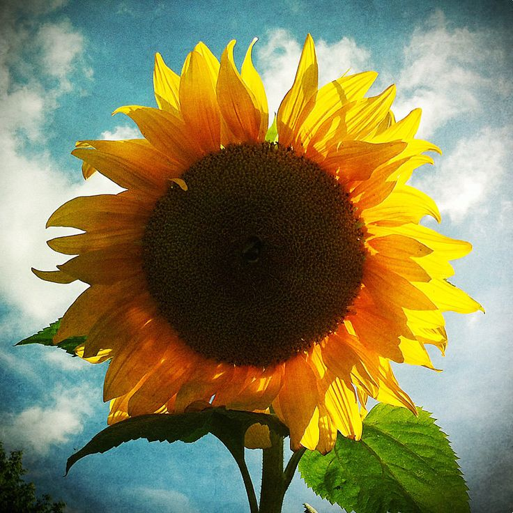 Sunflower photo, summer decor, country decor, cottage decor, sunflower art, yellow, sunny, teal, kitchen decor by MitchMcfarlanePhotos on Etsy https://www.etsy.com/listing/233567028/sunflower-photo-summer-decor-country