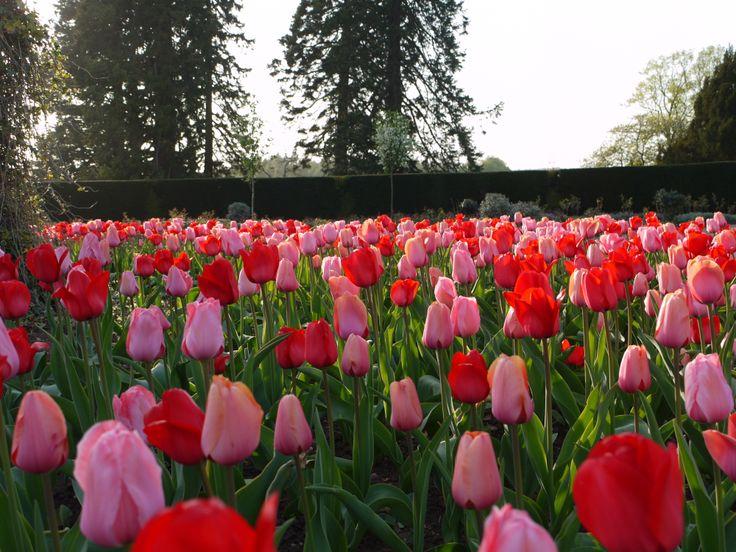 Mass Tulips