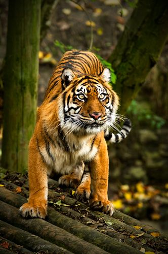 73 best images about Animals - Tiger on Pinterest | Out of ... Cute Siberian Tiger Shirt