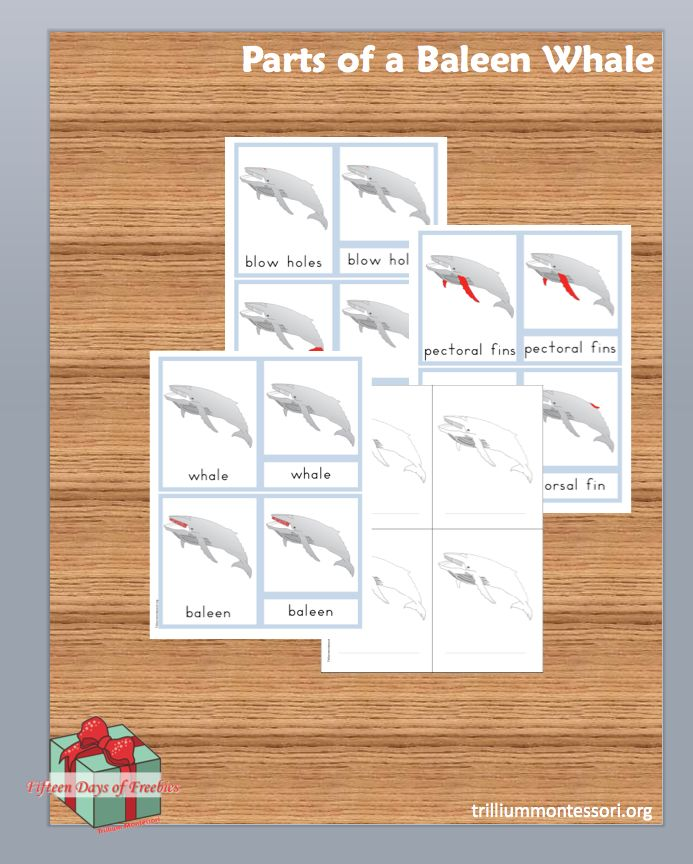 Parts of a Whale Cards and 14 more different sets of Montessori printables  (free though New year's Day 2014)