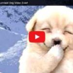Video - Best Ever Funny Dog Videos - A Must Watch! >