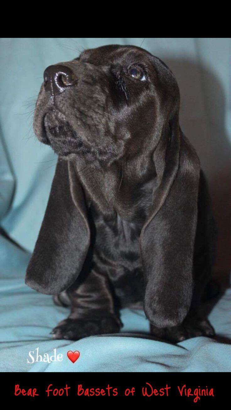 Black Baby Basset Basset Puppies Hound Puppies Basset Hound Dog