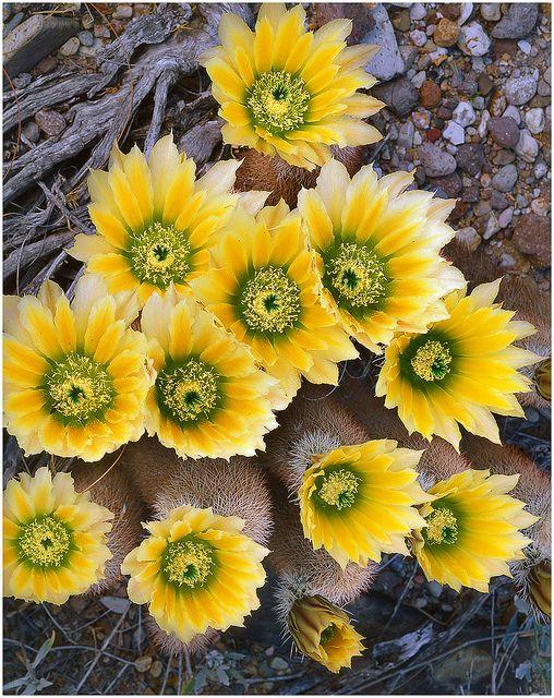 Echinocereus dasyacanthus - Big Bend National Park, TX - Flickr - Photo Sharing!