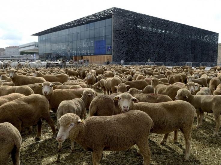 """Une """"TransHumance"""" avec quelque 4.000 bêtes – dont plus de 3.000 moutons – s'est déroulée dans les rues de Marseille, dimanche 9 juin. L'initiative, mise en œuvre la troupe équestre du Théâtre du Centaure, survient alors que la cité phocéenne est actuellement la capitale européenne de la culture.  (MAXPPP/LA PROVENCE/SOLLIER Cyril)"""