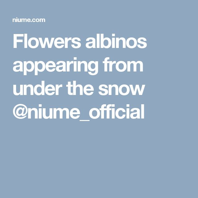 Flowers albinos appearing from under the snow @niume_official