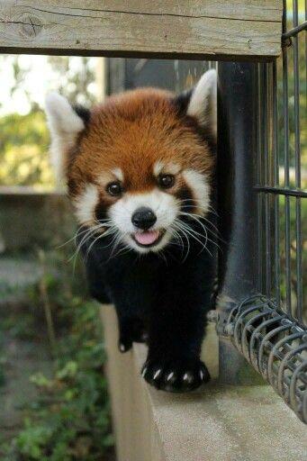 Panda Vermelho                                                                                                                                                      Mais