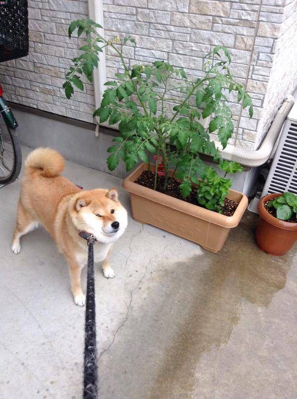 雨の日の散歩を断固として拒否する柴犬
