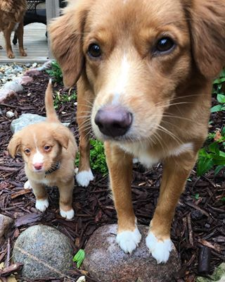 Just look at this duo who have matching ones! | 17 Photos That'll Make You Want To Adopt A Nova Scotia Duck Tolling Retriever