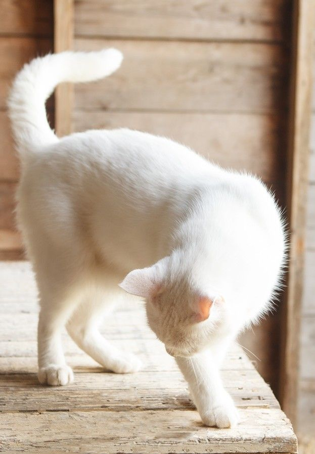 Poofy white cat, flashes his tailie!
