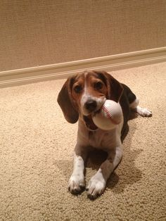 "Beagle puppy loves baseball Hope you're doing well.. From your friends at phoenix dog in home dog training""k9katelynn"" see more about Scottsdale dog training at k9katelynn.com! Pinterest with over 20,900 followers! Google plus with over 180,000 views! You tube with over 500 videos and 60,000 views!! LinkedIn over 9,300 associates! Proudly Serving the valley for 11 plus years;) now on instant gram! K9katelynn"