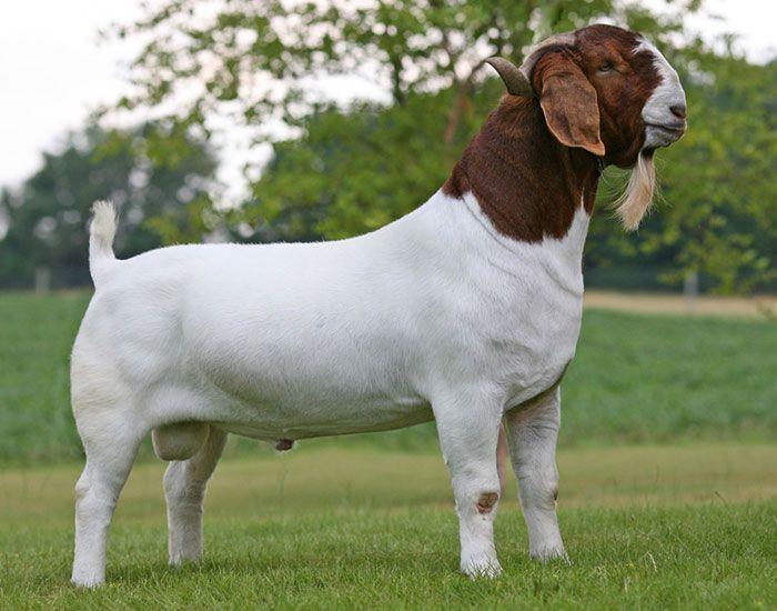 Beautiful boer buck- Rippers Reload- #babygoatfarm