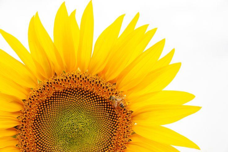 Bee on sunflower - bee on sunflower