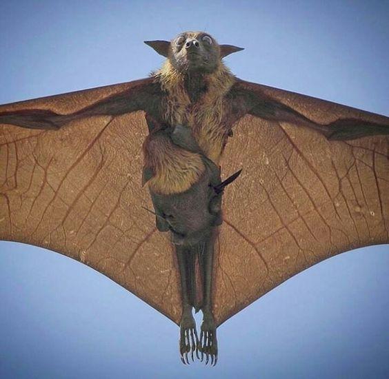 Flying Fox of Australia  The Occasional Bat