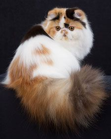 The most popular registered cat breed, Persians have a sweet, gentle personality to match their silken flowing coat.