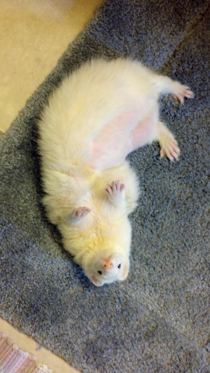 Diablo in his fave pose... | FERRETS | Pet ferret, Cute ...