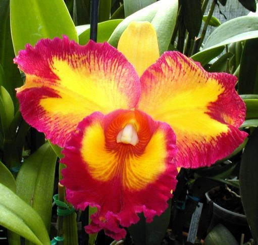 pictures of orchids | Some species of orchids will bloom once a year, while other species ...