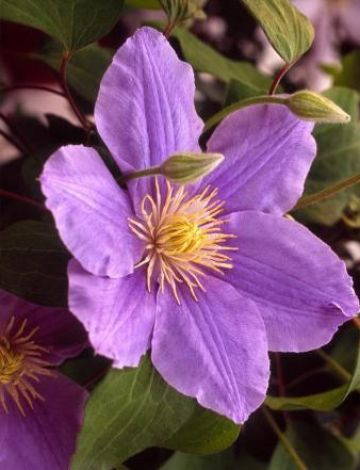 189 best clematis images on pinterest beautiful flowers zara clematis raymond evison collection dwarf variety with pale blue flowers and yellow stamens mightylinksfo