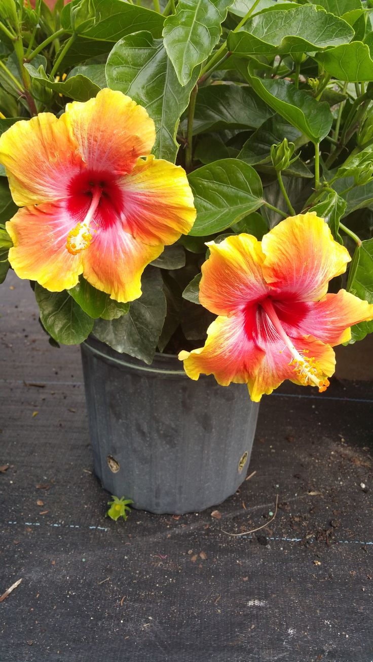 Hibiscus Bush Fiesta : 3 Gallon Bushes $16.99 at our Garden Center. Will start to arrive on March 11th, 2016.