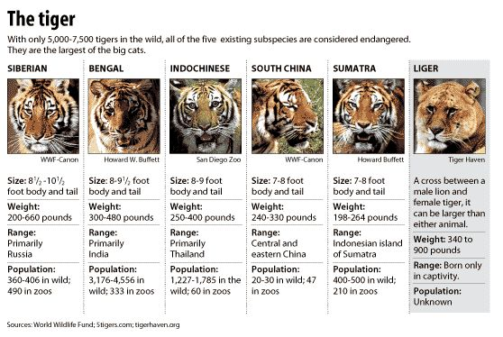 breeds of tigers | Types of tigers - chicagotribune.com