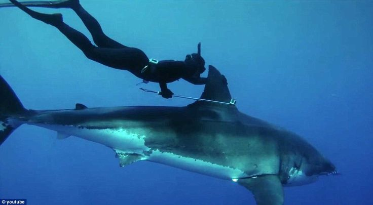 dive with a great white shark