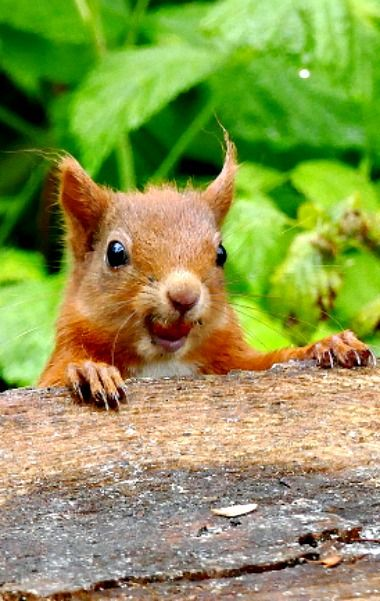red squirrel on the prowl (Feelin' Squirrely group board)