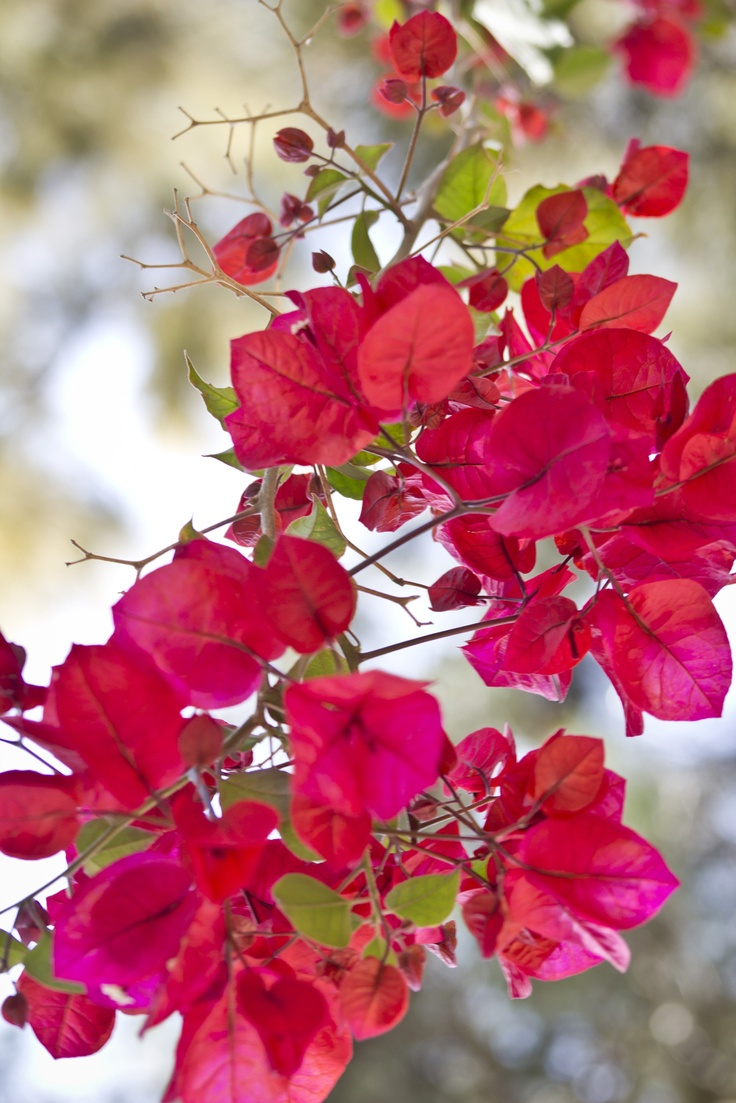 flores  bugambilias
