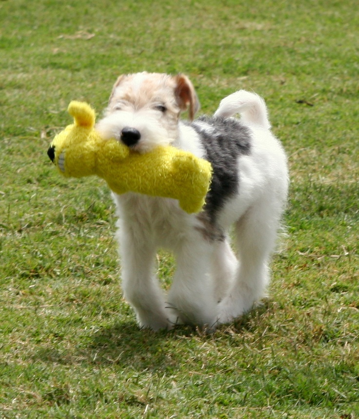 16 best Wire Fox Terrier images on Pinterest | Wire fox terriers ...