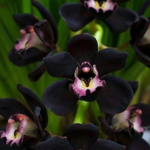 Orkidé svart