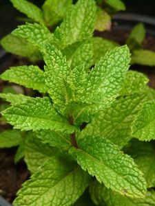 Plant you own Lemon Balm ~ Also known as Melissa, it's a favorite tea herb for its aromatic & sedative uses. Mildly anti-viral. It is lemon-scented and easy to grow. Use certified organically grown seeds.