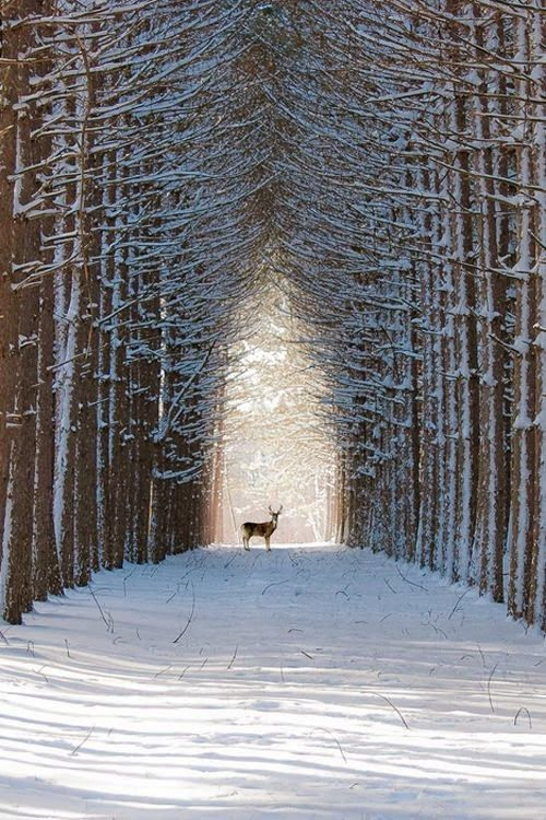 A beautiful row of snowy trees, and a deer stands looking @ whoever is taking this picture ~ so peaceful...