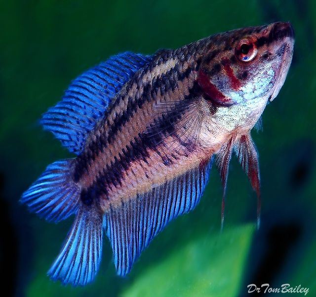 16 best female betta fish images on pinterest fish for How much is a beta fish