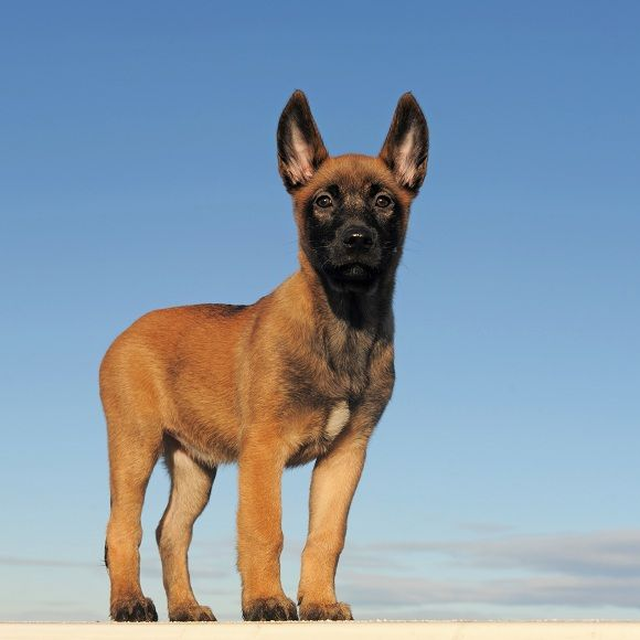 Belgian Malinois puppy (Breed origin: Belgium) | More here!