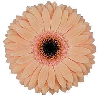 Peach gerbera daisies