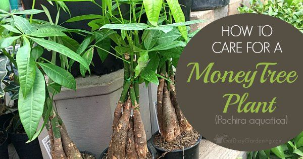 Braided money tree plants are said to bring good luck and prosperity to the owner. They'll thrive in your home for years with thesemoney plant care tips.