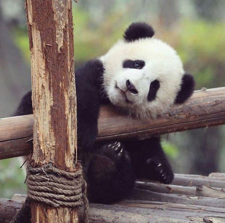 первое фото с пандами милые этом месте первом