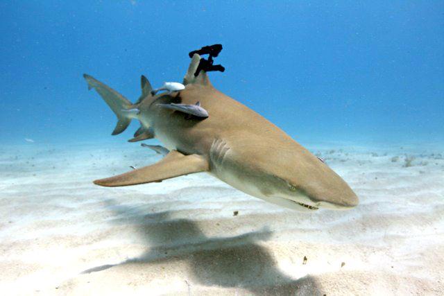 Shark with a laser beam