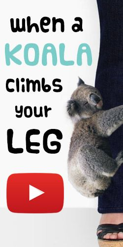 OMG, This #Koala Just Climbed Up Her Leg! #video #cute