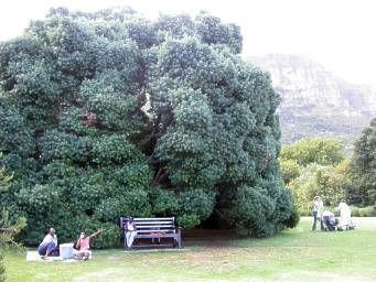 Large tree at Kirstenbosch