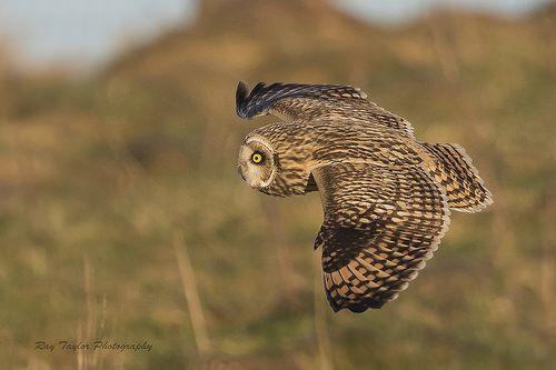Short-eared owl BBC Winterwatch | Flickr - Photo Sharing!